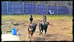 Puppy Doe Ambassadors -Taking the pledge with our 4 pups (Kaya, Sky, Adam & Emily) from New Gloucester, ME