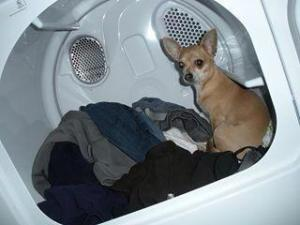 Lorraine -North Carolina. My little girl Precious and I pledge to always speak up and always take action against any animal abuse. Thank you . Here is a picture of my 9 year old chihuahua Precious.. She is in the dryer. She loves the warm clothes . I am always super careful and she loves it. Cracks me up every time she jumps in ...