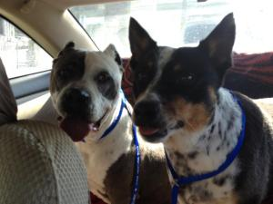 Sandra's - foster dog Lady and her BFF Shadow are ambassadors for Puppy Doe... :)