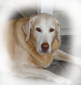 Savannah an elderly innocent dog KILLED at the Davie County Animal Shelter back in 2009