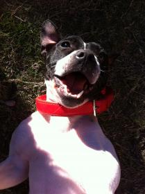 My sweet girl Jazz ..the smiling Staffy..xox